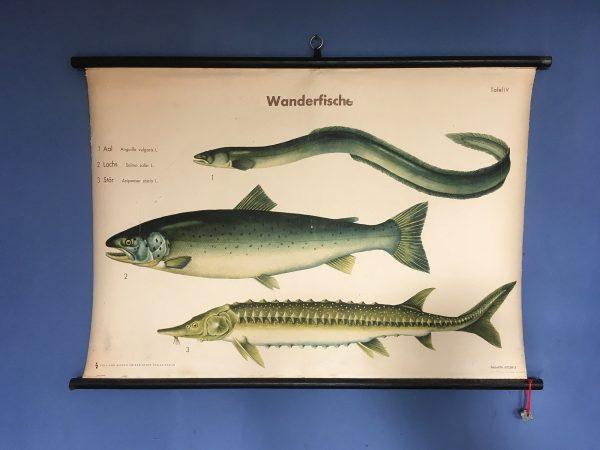 Schulrolltafel Wanderfische