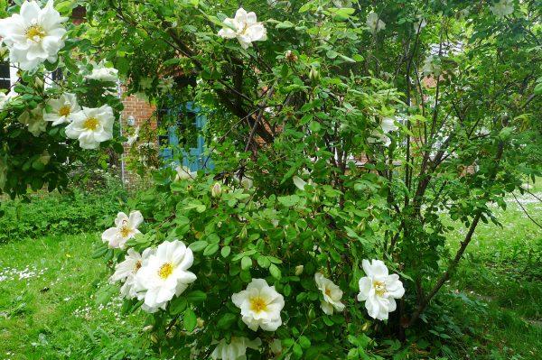 Falsterhus im Sommer Üppiger Pflanzenwuchs