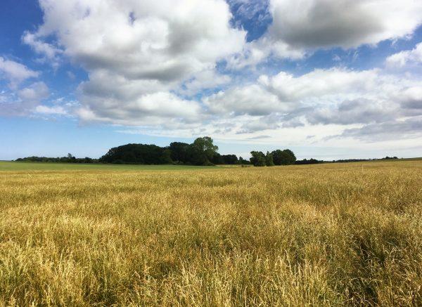 Üppige Felder bei Halskov