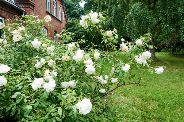 Falsterhus Garten. Rosen vor der Veranda.